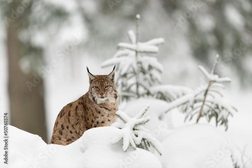 Aluminium Lynx Eurasischer Luchs, Eurasian lynx, Lynx lynx