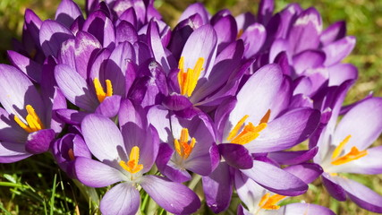 Time lapse of crocuses opening