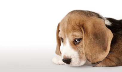 Beagle puppy portrait