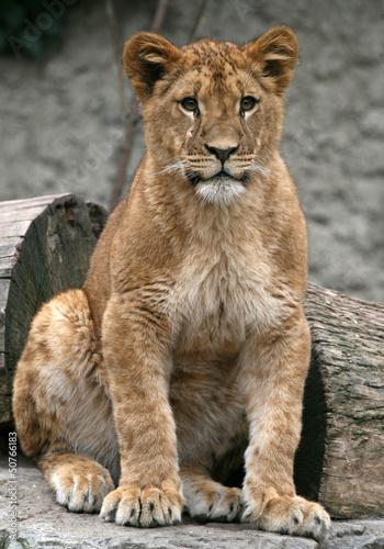 Lion patrz na mnie w artis amsterdam