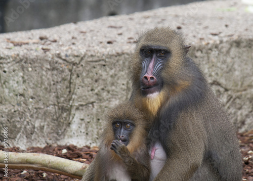 Mandrill monkey with young
