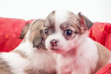 adorable Chihuahua puppy looking at camera