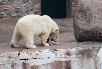 Polar bear (Ursus Maritimus) cub eats meat