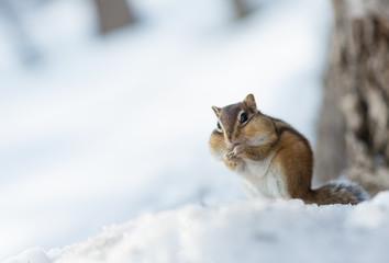 冬のシマリス