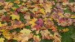 colorful autumn season maple tree leaves fall green meadow grass