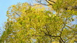 beautiful autumn maple tree branch leaves move wind blue sky