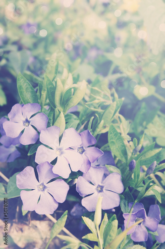 Vinca blue spring flowers,tinted
