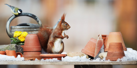 red squirrel on the garden table