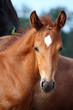 Beautiful chestnut foal portrait in summer