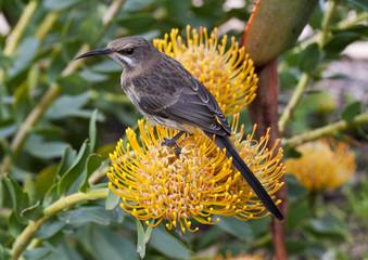 Sugar Bird on a Pin Cushion Protea