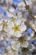 plum_blossom_17