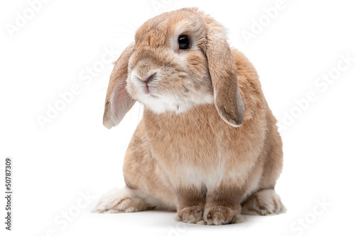 Rabbit on a white background, looking ahead, the breed of dwarf