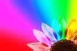 Tournesol multicolore, fond arc-en-ciel