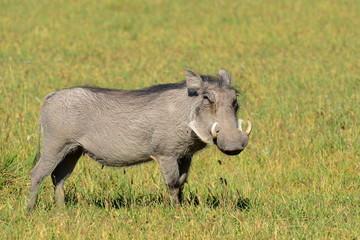 male of warthog,Chobe national park,