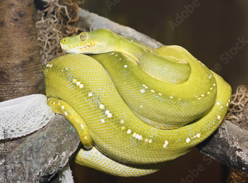 A Green Tree Python Coiled After Shedding