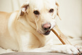 Labrador retriever with bone