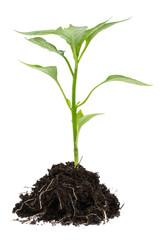 Junge Paprikapflanze auf weißem Hintergrund