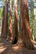 Yosemite National Park - Mariposa Grove Redwoods