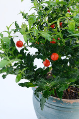 Decorative tomato plant