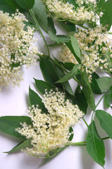 Fresh Sambucus nigra on a white background