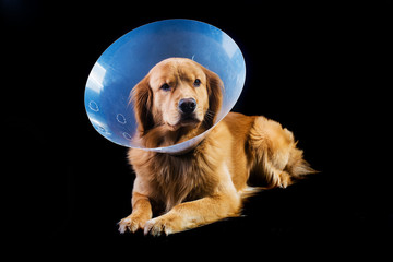Golden Retriever dog wearing Elizabethan collar