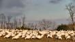 Snow Geese Feeding