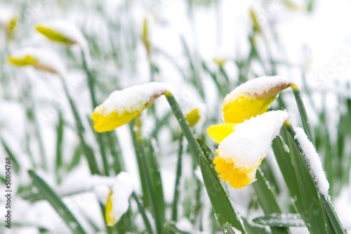 Fototapeten Narzisse Daffodils in the spring snow