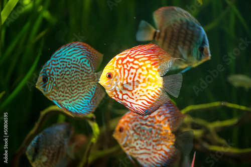 flock of colorful Discus close-up in aquarium