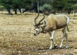 Arabian oryx (Oryx leucoryx) in Israeli nature reserve