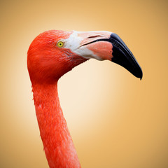 Picture of a beautiful flamingo on an orange background