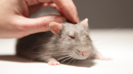A man plays with a rat
