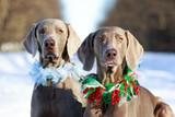 Two weimaraner dog poster