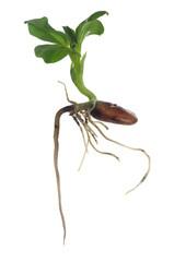 growing broad bean