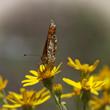 Orange butterfly feeding in flowers