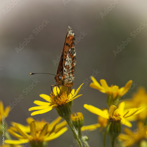 Orange butterfly feeding in flowers