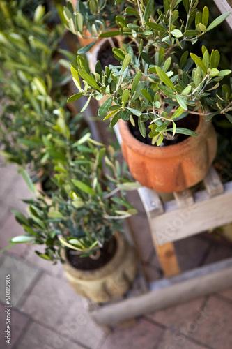 Olivier, arbre, jardin, patio, terrasse, pot, jardinage,