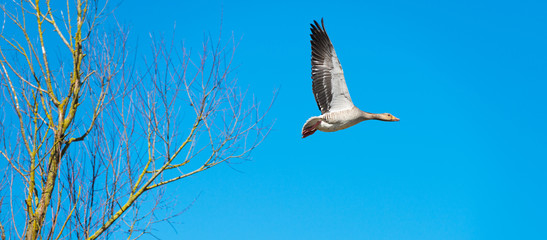 Goose flying along a tree in winter