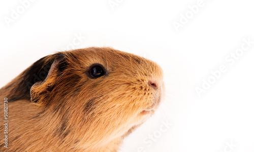 Tuinposter Eekhoorn Red guinea pig