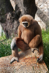 White-handed  ape