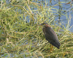 Wild Green Heron Bird standing in marsh grass