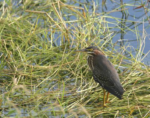 Wild Green Heron Bird standing in marsh grass