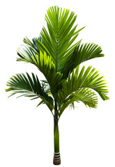 Green MacArthur Palm tree