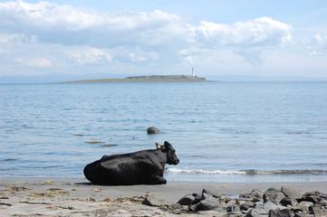 Cow sunbathing on the beach