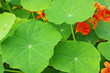 Blooming nasturtium leaves in the garden