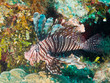 common lionfish (Pterois volitans)