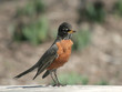 Young American Robin Bird standing on the fence