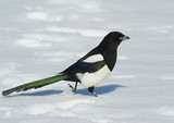 Magpie in the snow