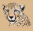 Sketch of a Cheetah's face