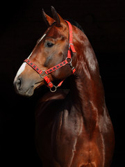 Bay horse portrait with dark background