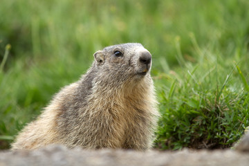 Cute marmot in the alps